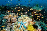 A multitude of sponges, tunicates, feather stars, sea stars, soft and hard corals as well as fish co-exist harmoniously in the reefs at Cogon. Apo Isl...