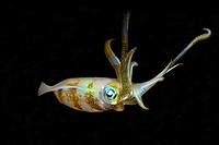 Bigfin reef squid, Sepioteuthis lessoniana, Dumaguete, Negros Island, Philippines
