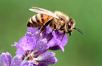 Honey bee (Apis mellifera). Bavaria. Germany.