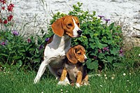Dog (Canis familiaris), Beagle adult and puppy