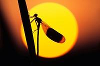 Banded Demoisell (Calopteryx splendens) male at sunset