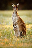 Australian Kangaroo with Joey in the pouch, Western Australia.