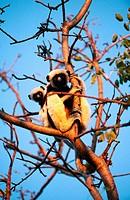 Coquerel´s Sifaka (Propithecus verreauxi coquereli). Anjajavy, Madagascar