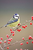 Blue Tit (Parus caeruleus) perched on red cotoneaster berries in frost. Scotland.