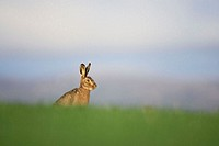 Brown Hare (Lepus capensis) resting in grass field. Scotland. April.