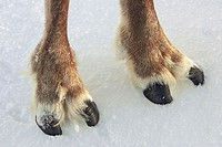 Reindeer (Rangifer tarandus), close-up of cloved hooves (feet). Cairngorms National Park, Scotland.