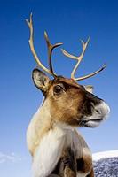Reindeer (Rangifer tarandus) close-up portrait of female (wide-angle - low viewpoint). Scotland