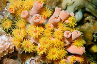Orange cup coral, Tubastrea faulkneri, open and closed polyps, Gato Island, Cebu, Philippines