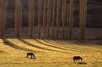 Horses grazing in Son. Pallars Sobirà. Lleida province. Catalunya. Spain.
