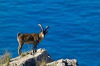 Rock Goat (Capra ibex). Parque Natural Sierras de Tejeda y Almijara. Málaga province, Andalusia, Spain