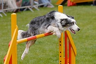 Dog jumping over an obstacle bar during agility competition