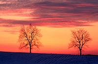 Trees at sunset in winter