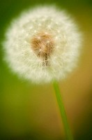 Dandelion Seedhead. Taraxacum officinale Weber. June 2005. Maryland, USA.