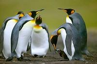 King Penguin (Aptenodytes patagonicus) feeding small chick. Falkland Islands South Atlantic