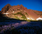 Sunlight on Lupine (Lupinus) in Canyon Creek Meadows and Three Fingered Jack, Mt. Jefferson Wilderness. Oregon, USA