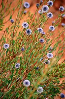 Perennial bushy plant of the globularia family - globulariaceae - up to 60 cm. Stems erect and ligneous. Leaves short-stalked, lanceolate ending in a ...