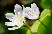 Clay (Oxalis acetosella), Teuchl, Mölltal, mountains Hohe Tauern, Carinthia (Kärnten), Austria, Alps, Europe spring