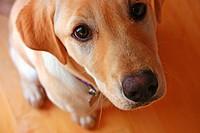 Golden labrador retriever puppy.