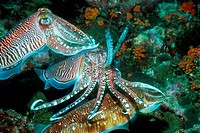 Pharao cuttlefish (Sepia pharaonis), male guarding egg laying female being approached by rival male.  Andaman Sea, Thailand.