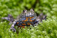 Fire-Billed Toad, Bombina bombina, Schleswig-Holstein, Germany