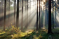 Sunrays at mist in forest (morning mood). Saxon Switzerland, Saxony, Germany, Europe.