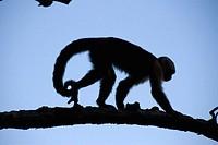 White-faced Capuchin monkey (Cebus capucinus), Montezuma. Peninsula Nicoya. Pacific coast. Costa Rica. Central America.