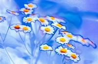 Feverfew Daisies. Tanacetum parthenium