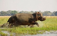 Hippopotamus (Hippopotamus amphibius). Startled bull running through the shallow water at a grassy island in the Zambezi River. On the opposite side o...