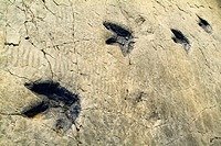 ´Icnita´ (dinosaur fossilized footprints), Los Cayos palaeontological site. Cornago, La Rioja, Spain.