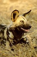 Wild Dog Cape Hunting Dog, Lycaon pictus, Kruger National Park, South Africa