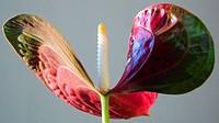 Anthurium (Anthurium scherzerianum)