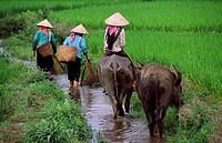 Women with water buffaloes, Binh Lu, Lai Chau Province, Vietnam