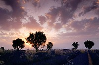 Walnut trees in Lavender field at sunset, (Lavandula), Plateau de Valensole, Puimoisson, Provence, France