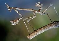 Mantis (Empusa pennata) nymph