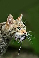 European Wildcat, Felis silvestris, Bavarian Forest National Park, Bavaria, Germany