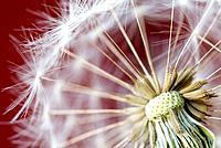 Dandelion (Taraxacum officinale) detail