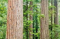 Redwood Forest - Jedediah Smith Redwoods State Park, CA