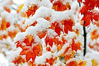 Fall Vine Maple Leaves and Snow on Mt  Hood - Mt  Hood National Forest, Oregon