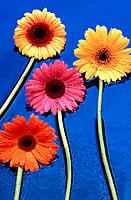 Assorted Gerbera flowers on wet blue asphalt