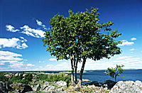 Tree in front of Baltic Sea. Scandinavia, Sweden