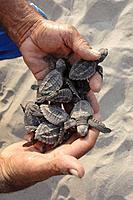 Olive Ridley Sea Turtles (Lepidochelys olivacea), Mexico.