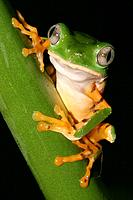 Treefrog. Napo River basin, Amazonia, Ecuador