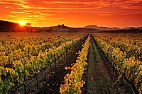 Vineyards and sunset, Carneros Region, Napa County, California, USA