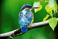 Kingfisher Alcedo atthis female with wet feathers after the hunt