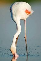 Greater Flamingo (Phoenicopterus ruber roseus)