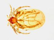 Ixodes ricinus female, Acari: Ixodidae, tick vector for Lyme disease, borreliosis, caused by spirochete bacteria from the genus Borrelia, 50 X, optica...