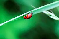 Seven Spot Ladybeetle upside-down on a blade of grass  A seven-spot ladybird beetle hangs upside down on a blade of grass