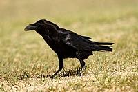 Common Raven (Corvus corax). Teruel, Aragon, Spain