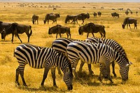 Large numbers of zebra and blue wildebeest gnu, Ngorongoro Crater, Ngorongoro Conservation Area, Tanzania