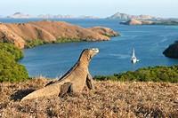 Komodo dragon (Varanus komodoensis) looking at Rinca and other islands of the Lesser Sunda group. Komodo island, Indonesia
